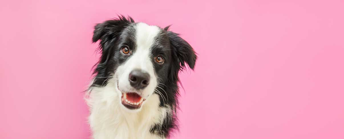Funny Studio Portrait Of Cute Smiling Puppy Dog Border Collie Isolated On Pink Background